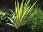 """Iris pallida """"Argentea variegata"""" - Vėduoklinis vilkdalgis"""