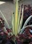 """Iris pallida """"Zebra"""" - Vėduoklinis vilkdalgis"""