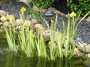 "Iris pseudacorus ""Variegata"""