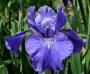 "Iris sibirica ""Berlin Rufles"""