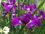 "Iris sibirica ""Berlin Purple Wing"""