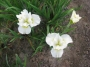 "Iris sibirica ""Bellissimo"""