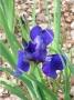 "Iris sibirica ""Blue Burge"""