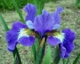 "Iris sibirica ""Cornation Anthem"""