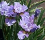 """Iris sibirica """"Careless Sally"""""""