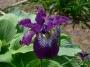 "Iris sibirica ""Demure Illini"""