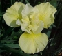 "Iris sibirica ""Dance and sing"""