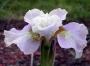 "Iris sibirica ""Dawn Waltz"""