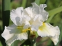 "Iris sibirica ""Double play"""