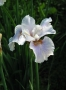 "Iris sibirica ""Fond kiss"""