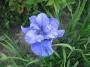 "Iris sibirica ""Jigless"""