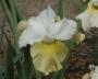 "Iris sibirica ""New Mown Hay"""