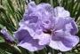 "Iris sibirica ""Ringamarole"""