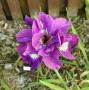 "Iris sibirica ""Shebang"""