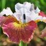 """Iris sibirica """"Sugar rush"""""""