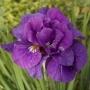 "Iris sibirica ""Tumble bug"""