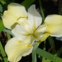 "Iris sibirica ""Yellow Dawn"""