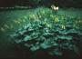 Ligularia Wilsoniana - Vilsono gaurė