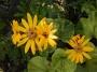 """Ligularia dentata """"Aurea"""" - gaurė"""