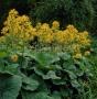 Ligularia hessei - gaurė