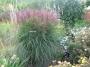 """Miscanthus sinensis  """"Yaku Jima"""""""