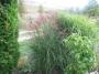 """Miscanthus sinensis  """"Silber spinne"""""""