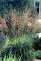 Molinia arundinacea - Melvenė