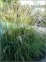 "Miscanthus sinensis ""Ki"""