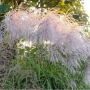 "Miscanthus sinensis ""Memory"""
