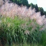"Miscanthus sinensis ""Grosse fontane"""