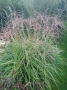 "Miscanthus sinensis ""Pagels"""