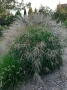 "Miscanthus sinensis ""Herman Mussel"""