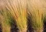 """Molinia caerulea """"Heidebraut"""" -"""