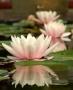 Nymphea - Vandens lelija