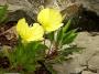 Oenothera  missouriensis - Nakviša misūrinė