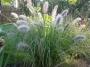 """Penisetum """"Hameln"""" - Soruolė"""