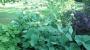 Phlomis russeliana - Gumbenė