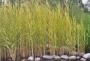 Phragmites australis variegatus - Margalapė nendrė