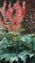 "Rheum palmatum ""Stokholm"" - rabarbaras"