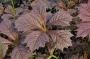 "Rodgersia podophylla ""Rotlaub"""