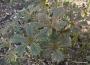 "Rodgersia podophylla ""Donald Feder"""