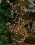 "Salix udensis ""Sekka"" - Plokščiašakis karklas"
