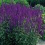 """Salvia  """"Caradonna"""" - šalavijas"""