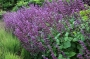 "Salvia  ""Purple rain"" -  šalavijas"