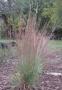"Schizachyrium scoparium ""Wildvest"" - Kupstinis barzdūnas"