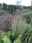 """Schizachyrium scoparium """"Blaze"""" - kupstinis barzdūnas"""