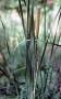 Typha angustifolia  - Siauralapis švendras