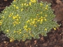 Vitaliana primuliflora