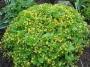 Waldsteinia ternata